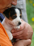 Little Jack Russell Terrier Puppy. Woman having in hands Jack Russell Terrier Puppy stock image