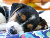 Little Jack Russell Terrier sleeping Royalty Free Stock Photos