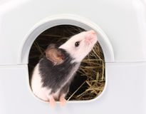 Little mouse coming out of it's hole Royalty Free Stock Photography