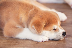 Little Japanese akita-inu sleeping puppy Royalty Free Stock Images