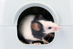 Little mouse looking out of it's hole. Little japanese mouse coming out of it's hole Stock Image