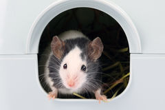 Little mouse coming out of it's hole Stock Image