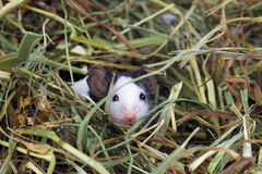 Little mouse sitting in the hay Royalty Free Stock Photo