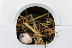 Little mouse sticking nose out of it's hole Stock Photography