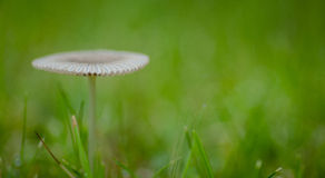 Little Japanese Umbrella toadstool in grassland Royalty Free Stock Photography