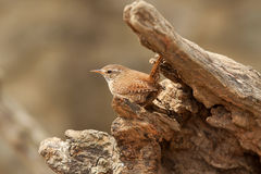 A little jenny Wren. Photo of a little jenny Wren sitting on a log Royalty Free Stock Photo
