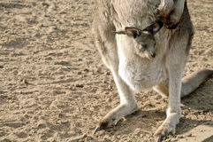 Little joey Kangaroo in a pouch. Little cute joey Kangaroo baby in moms pouch Royalty Free Stock Image