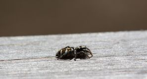 Little jumping spider is sitting on wood with soft background Stock Photos