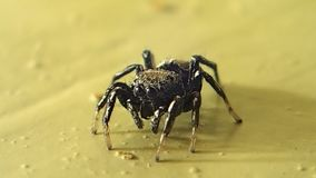 Little jumping spider turning and moving stock video footage
