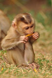 Little jungle monkey eating food Royalty Free Stock Images