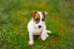 Little junior Jack Russell terrier lifting paw in grass Royalty Free Stock Photography