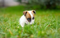 Little junior Jack Russell terrier sitting in grass Stock Images