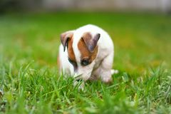 Little junior Jack Russell terrier smelling and sitting in grass Royalty Free Stock Image