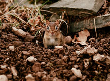 Little juvenile chipmunk Royalty Free Stock Image