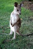 Little Kangaroo  Royalty Free Stock Photography