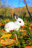Little kanin Arkivfoto