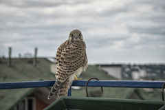 Little kestrel. Sitting on a terrace Royalty Free Stock Photos