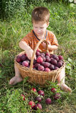 Little kid with basket of plum Stock Image