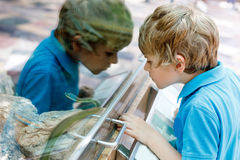 Little kid boy admire Poisonous green snake in terrarium. Through the glass in zoo. Happy school child watching and observing animals and reptiles. Family stock image
