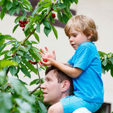 Little kid boy and father  picking cherries in garden Royalty Free Stock Image