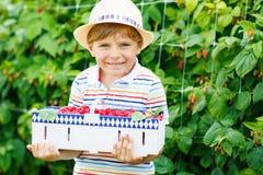 Little kid boy having fun on raspberry farm stock images