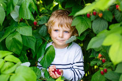 Little kid boy picking fresh berries on organic raspberry field farm. Cute little kid boy picking fresh berries on raspberry field. Child pick healthy food on Royalty Free Stock Image