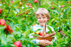 Little kid boy picking red apples on farm autumn Royalty Free Stock Image