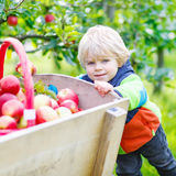 Little kid boy picking red apples in orchard Royalty Free Stock Photos