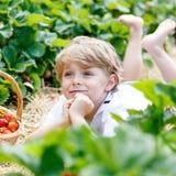 Little kid boy picking strawberries on farm. Beautiful kid boy having fun with picking strawberries on organic bio berry farm in summer, on warm sunny day Stock Photos