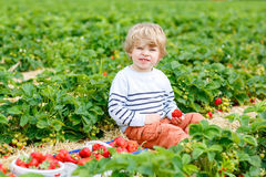 Little kid boy picking strawberries on farm. Curly little toddler kid boy picking and eating strawberries on organic pick a berry farm in summer, on warm sunny Stock Photography