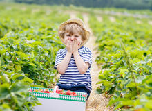 Little kid boy picking strawberries on farm. Happy little kid boy picking  strawberries and laughing on organic farm in summer, on warm sunny day. Harvest fields Royalty Free Stock Photography