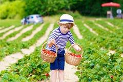 Little kid boy picking strawberries on farm, outdoors. Active little kid boy picking and eating strawberries on organic bio berry farm in summer, child on warm Royalty Free Stock Photo