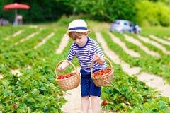 Little kid boy picking strawberries on farm, outdoors. Active little kid boy picking and eating strawberries on organic bio berry farm in summer, child on warm Royalty Free Stock Photos