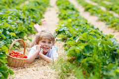 Little kid boy picking strawberries on farm, outdoors. Adorable little blond kid boy picking and eating strawberries on organic bio berry farm in summer, on Royalty Free Stock Photo
