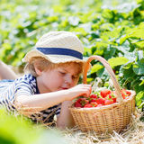 Little kid boy picking strawberries on farm, outdoors. Adorable blond little kid boy picking and eating strawberries on organic bio berry farm in summer, on Royalty Free Stock Photography