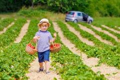 Little kid boy picking strawberries on farm, outdoors. Adorable little kid boy picking and eating strawberries on organic bio berry farm in summer, child on Royalty Free Stock Photo