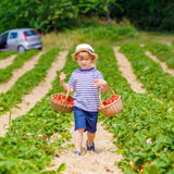 Little kid boy picking strawberries on farm, outdoors. Adorable little kid boy picking and eating strawberries on organic bio berry farm in summer, child on Royalty Free Stock Images