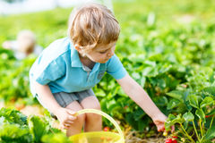 Little kid boy picking strawberries on farm, outdoors. Adorable little toddler kid boy picking and eating strawberries on organic pick a berry farm in summer Royalty Free Stock Images