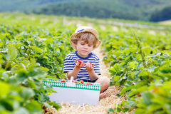 Little kid boy picking strawberries on farm, outdoors. Beautiful little kid boy picking and eating strawberries on organic bio berry farm in summer, child on Royalty Free Stock Photo