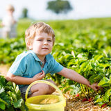 Little kid boy picking strawberries on farm, outdoors. Beautiful little toddler kid boy picking and eating strawberries on organic pick a berry farm in summer Royalty Free Stock Photos