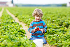 Little kid boy picking strawberries on farm, outdoors. Curly little toddler kid boy picking and eating strawberries on organic pick a berry farm in summer, on Royalty Free Stock Photos