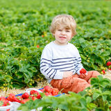 Little kid boy picking strawberries on farm, outdoors. Curly little toddler kid boy picking and eating strawberries on organic pick a berry farm in summer, on Royalty Free Stock Photography