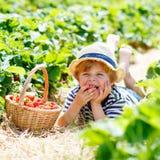 Little kid boy picking strawberries on farm, outdoors. Funny blond little kid boy picking and eating strawberries on organic bio berry farm in summer, on warm Royalty Free Stock Image