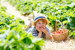 Little kid boy picking strawberries on farm, outdoors. Funny blond little kid boy picking and eating strawberries on organic bio berry farm in summer, on warm Royalty Free Stock Images