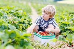 Little kid boy picking strawberries on farm, outdoors. Funny little kid boy picking and eating strawberries on organic bio berry farm in summer, on warm sunny Stock Photography