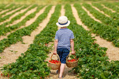 Little kid boy picking strawberries on farm, outdoors. Stock Image