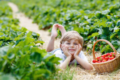 Little kid boy picking strawberries on farm, outdoors. Funny little kid boy picking and eating strawberries on organic bio berry farm in summer, on warm sunny Royalty Free Stock Photography