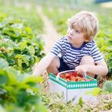 Little kid boy picking strawberries on farm, outdoors. Funny little kid boy picking and eating strawberries on organic bio berry farm in summer, on warm sunny Royalty Free Stock Photos