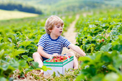 Little kid boy picking strawberries on farm, outdoors. Funny little kid boy picking and eating strawberries on organic bio berry farm in summer, on warm sunny Royalty Free Stock Photo