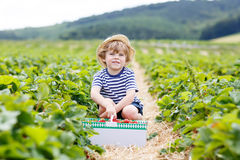 Little kid boy picking strawberries on farm, outdoors. Royalty Free Stock Image